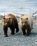 Brown-Bären-Geschwister Stockfotos