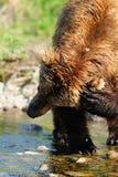 Brown-Bären-Jucken Lizenzfreie Stockfotos
