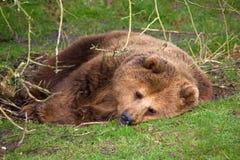 Brown-Bären-Schlafen Lizenzfreie Stockbilder