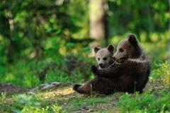 Brown-Bärenjunge Lizenzfreies Stockbild