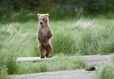 Brown-Bärenjungstellung Stockfotografie