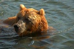 Brown-Bärenschwimmen im Wasser Lizenzfreies Stockbild