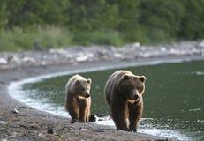 Brown-Bärsau und Cub Lizenzfreie Stockfotografie