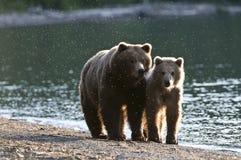 Brown-Bärsau und Cub Stockbild