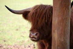 Brown-Büffel im ZOO Stockfotos