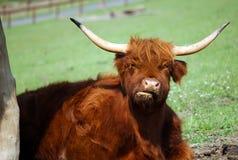 Brown-Büffel mit großen Hörnern Stockfotografie