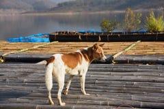Brown błądzący pies stoi na spławowym domu Zdjęcie Royalty Free
