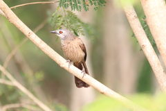 Brown Babbler Royalty Free Stock Photography