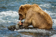 Brown baby-bear in Alaska. Alaskan brown baby-bear eating salmon, Brooks camp, US stock photos