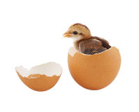 Brown baby chick inside egg Royalty Free Stock Photography