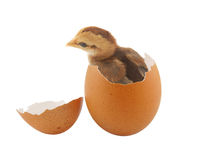 Brown baby chick inside egg Royalty Free Stock Photos