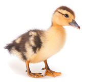 Brown baby duck. Closeup on white royalty free stock images