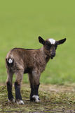 Brown baby goat Royalty Free Stock Image