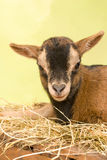 Brown baby goat face Stock Photo