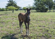 Brown baby horse in grassy pasture Stock Image