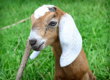 Brown Baby Nubian Goat Royalty Free Stock Photo