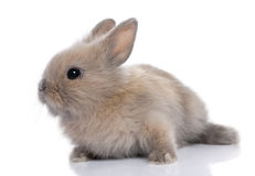 Brown baby rabbit (5 weeks old). In front of a white background stock image