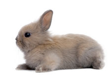 Brown baby rabbit (5 weeks old). In front of a white background Stock Photography