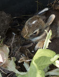 Brown baby rabbit Royalty Free Stock Images