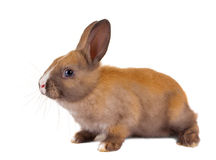 Brown baby rabbit. Brown little baby rabbit on a white background royalty free stock image