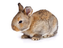Brown baby rabbit Royalty Free Stock Image