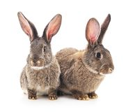 Brown baby rabbits. Brown baby rabbits on a white background royalty free stock photo
