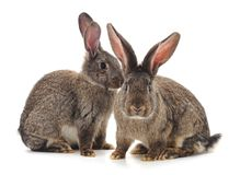 Brown baby rabbits. Brown baby rabbits on a white background stock photography