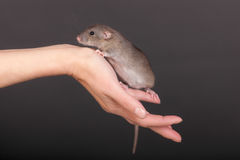 Brown baby rat Stock Photography