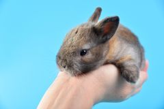 Brown-Babykaninchen auf menschlicher Hand mit blauem Hintergrund lizenzfreies stockfoto