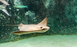 Brown back and wings of swimming Cownose ray. Rhinoptera bonasus. They are often mistaken for being a shark by beach-goers due to the fins sticking out of the royalty free stock photography