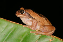 Brown-backed tree frog Stock Photos