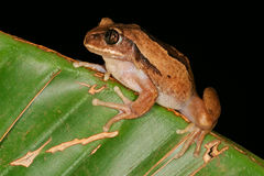 Brown-backed tree frog Royalty Free Stock Photo