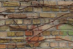 Brown texture of bricks in the wall overgrown with dry branches of the plant. Brown background of bricks in the wall overgrown with dry branches of the plant royalty free stock photography