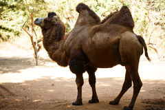 Brown bactrian camel at the nature Stock Photo