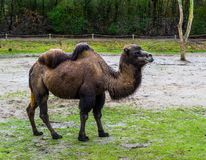 Brown bactrian camel walking in a pasture, domesticated animal from Asia. A brown bactrian camel walking in a pasture, domesticated animal from Asia royalty free stock images