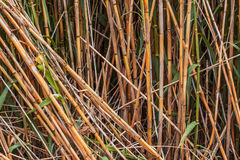 Brown bamboo stalks Royalty Free Stock Photos