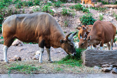 Brown banteng and calf eating grass Stock Photo