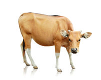 Brown banteng  on white background Stock Photos