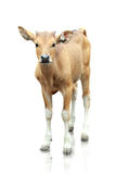 Brown banteng  on white background Stock Images