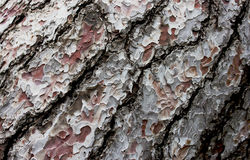 Brown bark of the pine tree Stock Photos