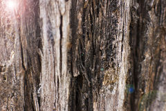 Brown bark of the pine tree Stock Photography