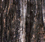 Brown bark of the pine tree Stock Image