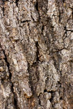 Brown bark of the pine tree Stock Photo