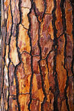 Brown bark of pine tree Royalty Free Stock Image