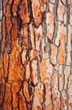 Brown bark of pine tree Royalty Free Stock Photos