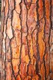Brown bark of pine tree Stock Image
