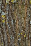Brown bark of a Robinia tree. Brown Robinia tree bark texture Stock Images