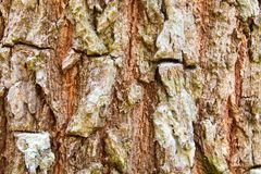 Brown bark of a tree royalty free stock image
