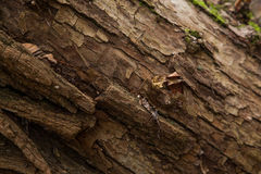 Brown-Barke auf Baumstumpf Stockfoto
