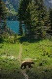Brown barwił czarnego niedźwiedzia przy lodowa parkiem narodowym Zdjęcia Royalty Free